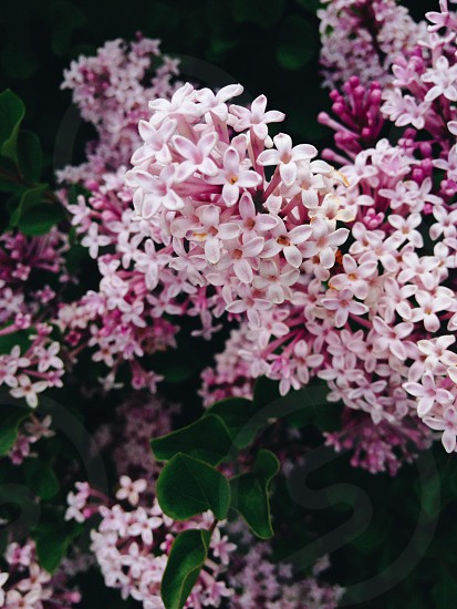 white and pink flower plant photo