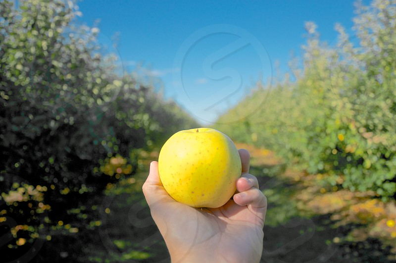 golden delicious fall autumn apple orchard photo