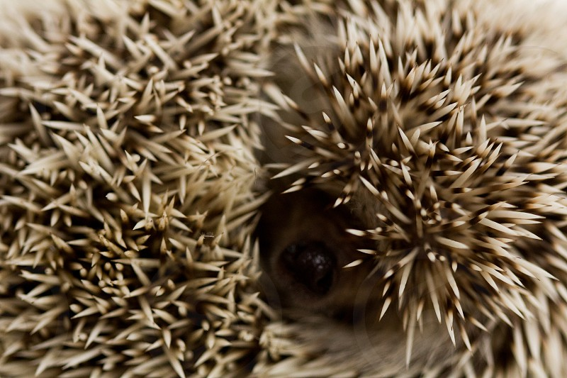 Close up on the spines of a hedge hog curled in a ball rolled up no people horizontal nature photo