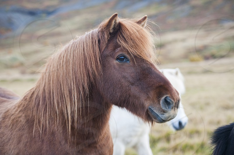 Brown Icelandic horse in a field photo