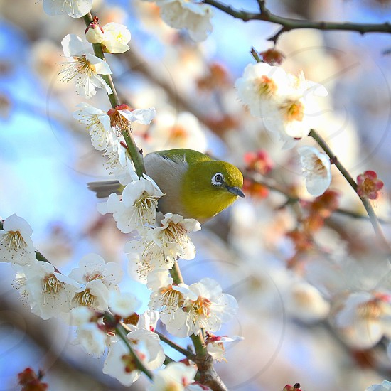 Bird blossom  photo