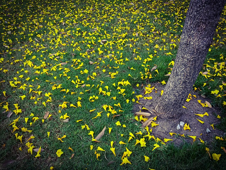 Tabebuia chrysantha yellow flower fall grass ground falling fallen background floor garden park outdoor green carpet nature blossom wither season photo