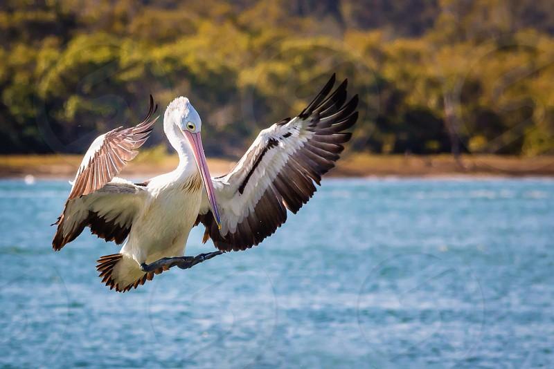 Flight birds landing pelican photo