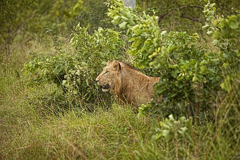Lion Stalking prey photo
