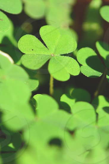 3 leaf clover in close up photography during daytime photo