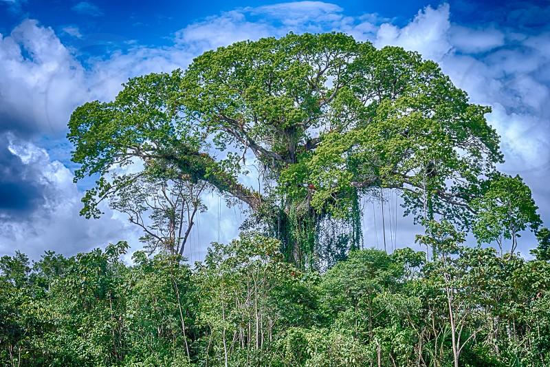 Capok Tree photo