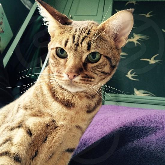 Ocelot cat  photo