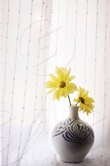 two yellow eye of susan daisy in white and blue ceramic vase photo