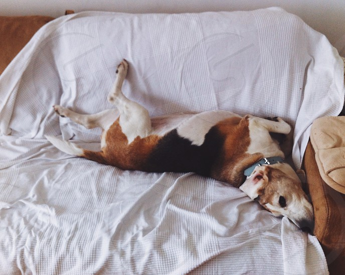 tricolor short coat dog lying on the bed with white blanket photo