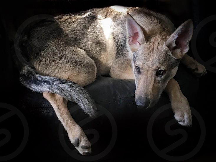 adult short-coated tan dog with black background photo