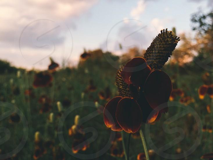 Flower macro sunset Texas San Antonio photo
