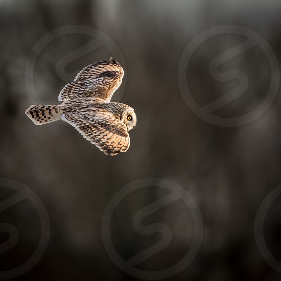 Wild Short eared owl in flight showing the feathers and structure of its wings (Asio flammeus) photo