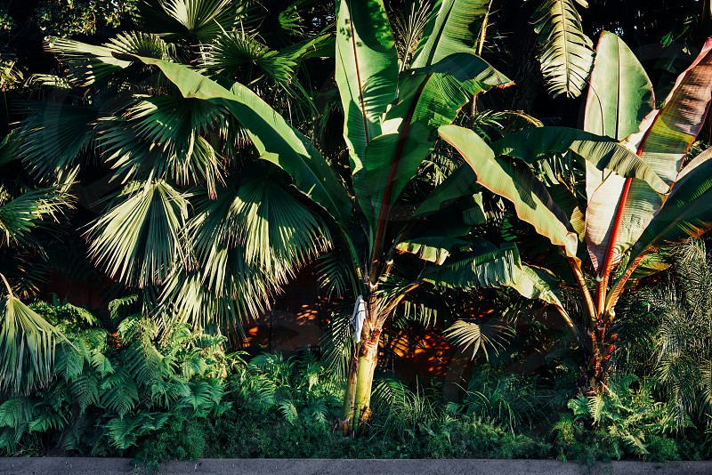 banana trees and palm trees in the woods photo