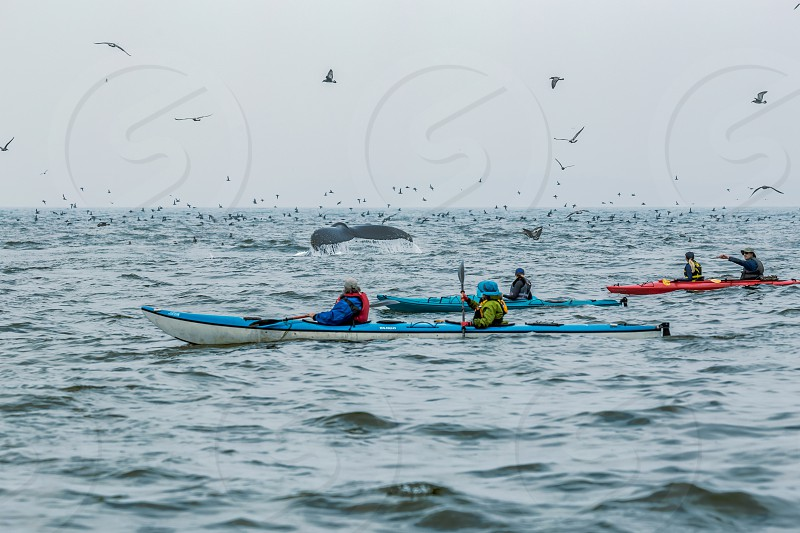 Kayakers with Humpback whales in Moss Landing CA photo