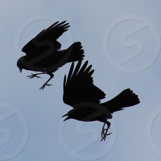 two ravens flying photo