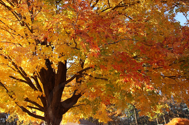 Fall Autumn tree bright yellow and orange leaves brown trunk and branches park woodland forest photo