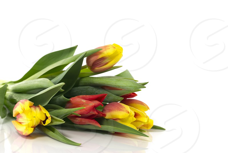 red and white tulips isolated on white background photo