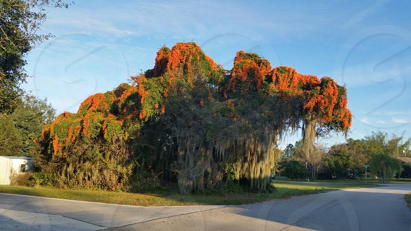 scenery tree flame vine sunrise Florida photo