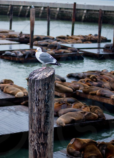Pier 39 San Fran California North Seagulls Sea Lions animals natural wildlife sea ocean salty Atlantic pier dock post pole creatures environmental views lounging sleeping Day explore adventure photo