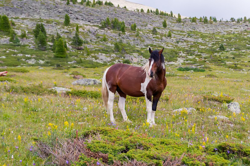 A large strong horse of brown and white color stands in the middle of the mountains with rocks and green grass looking forward with a white fluffy mane against the background of gray clouds and trees photo