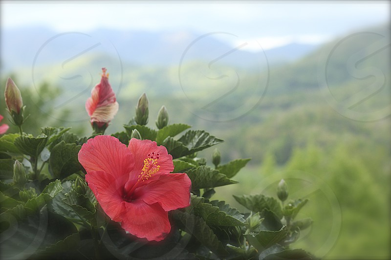 Hibiscus in the morning photo