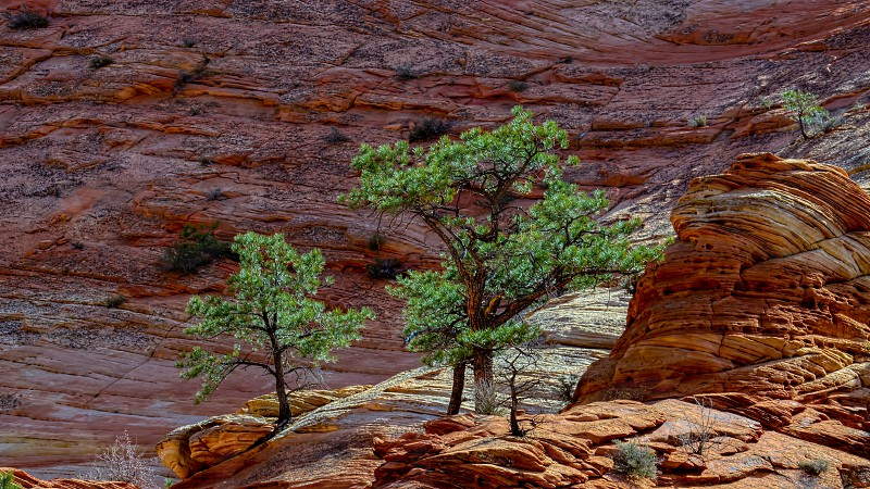 Pine Trees on a Rocky Outcrop in Zion photo
