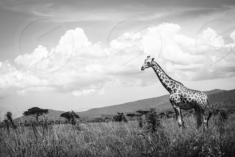 Photo of a Giraffe in Kenya Africa photo