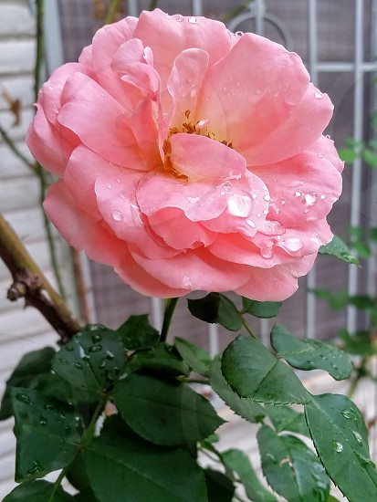 Pink rose with raindrops photo
