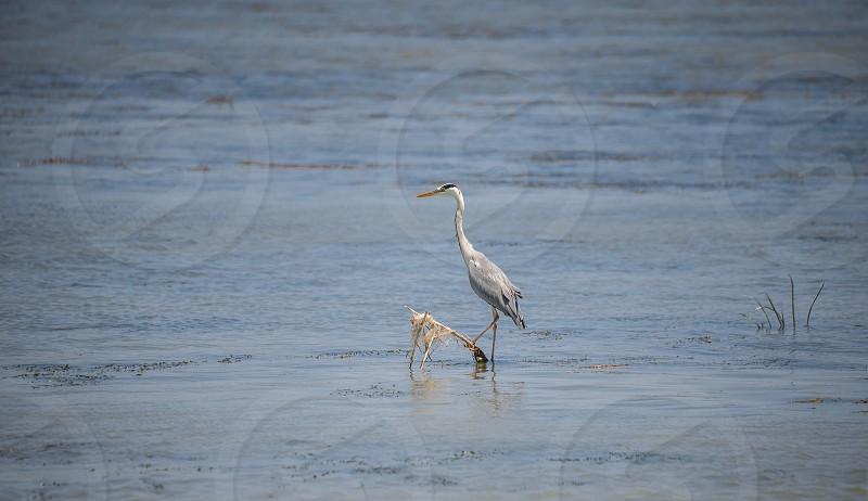 Birds in the Danube Delta near Vilkovo in Ukraine photo