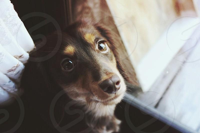 tan and white long coated dachshund facing glass window photo