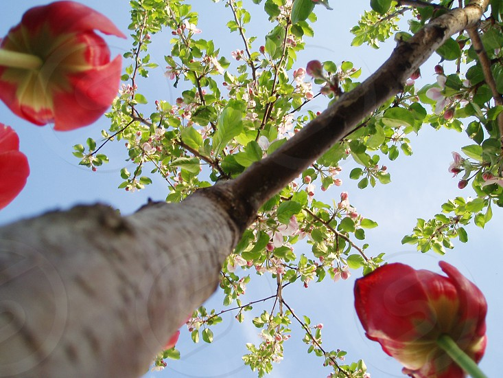 Red tulips under blooming apple tree viewed from ground level. photo