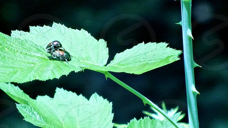 Two Beetles having sex on a thorny leaf photo