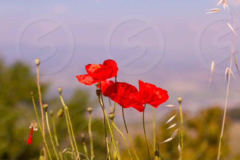 Poppies field flower poppy Italy landscape countryside green nature peaceful hot warm sun sunshine photo