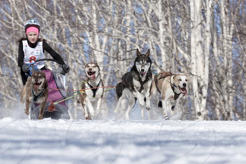PETROPAVLOVSK-KAMCHATSKY KAMCHATKA PENINSULA RUSSIA - FEBRUARY 23 2017: Runs dog sled young Kamchatka musher Krivogornitsyna Kristina. Kamchatka Kids Competitions Sled Dog Race Dyulin (Beringia). photo
