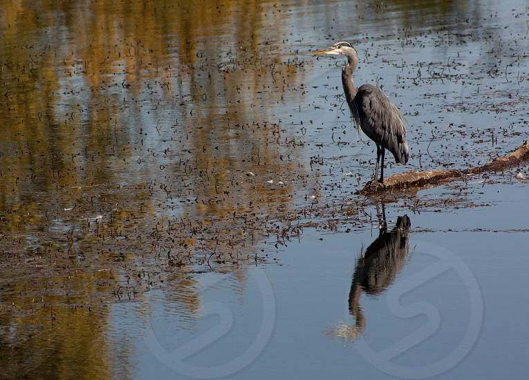 Reflections of a Great Blue Heron photo