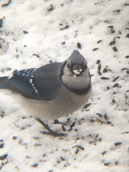 A blue jay with snow on his beek. He's eating seed photo