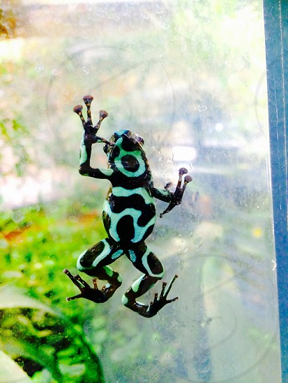 Frog on glass  photo
