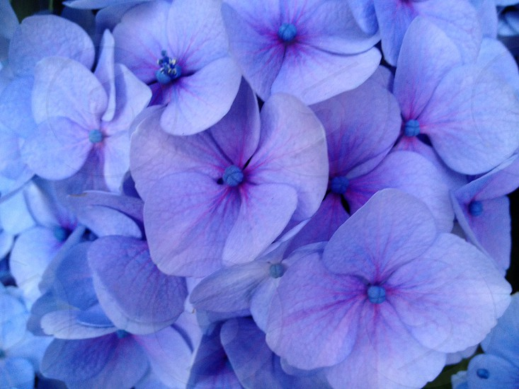 Blue. Flower.  Hydrangea. Pattern.  photo