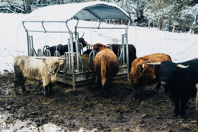 Scottish highland cows in a winter pasture with snow photo