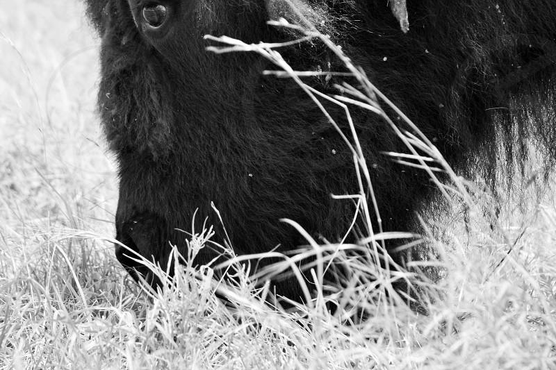 buffalo animal grass rustic photo