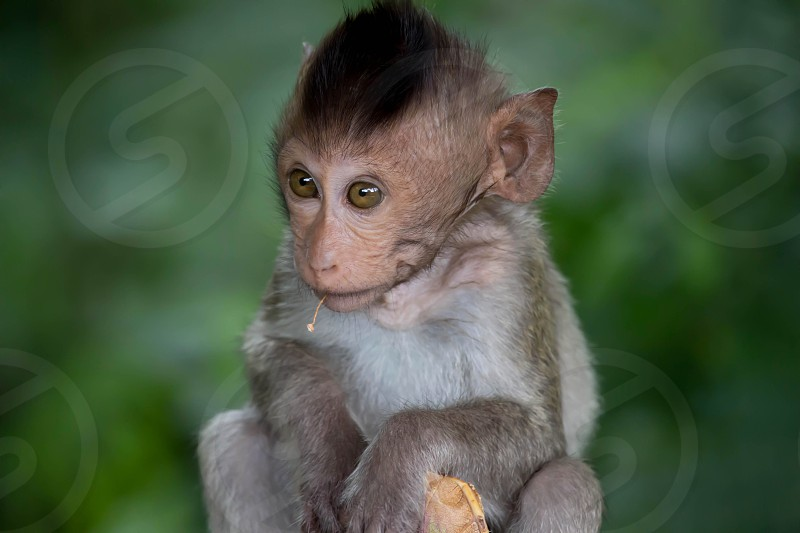A cute monkey lives in a natural forest of Thailand.  photo