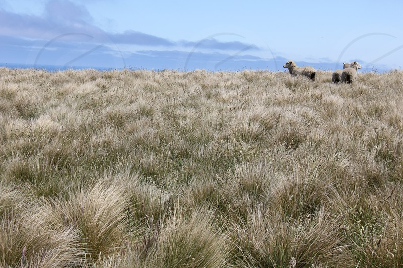Grazing (Otago Peninsula New Zealand) photo
