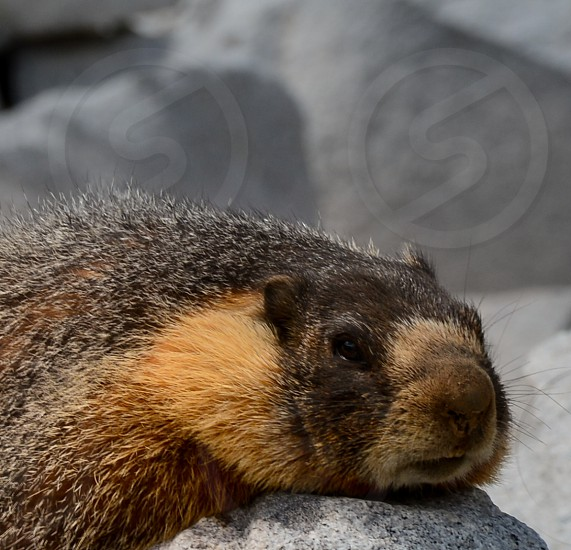 Not a worry in the world as a Marmot relaxes on the granite in Yosemite. photo