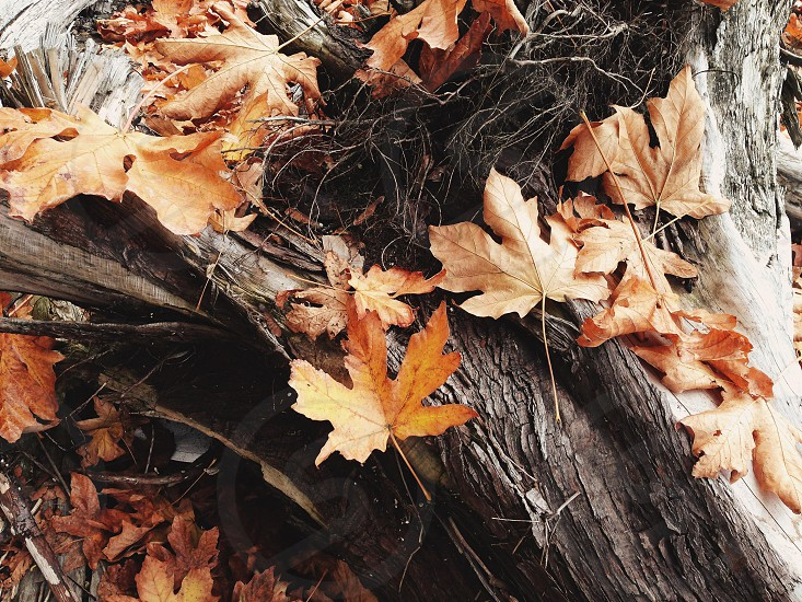 brown maple leaves on a tree photo
