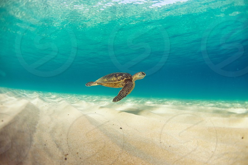 Endangered Sea Turtle swimming through the clear Waters's of hAwaii photo
