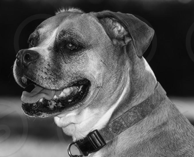 Happy Boxer photo