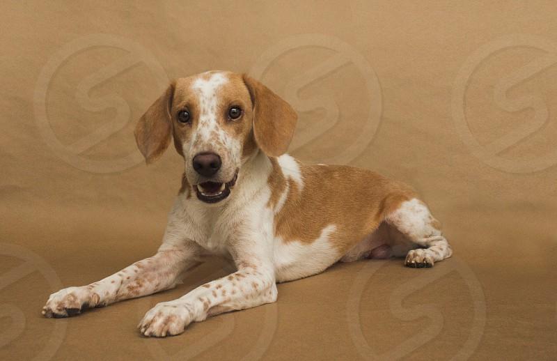white light brown beagle photo