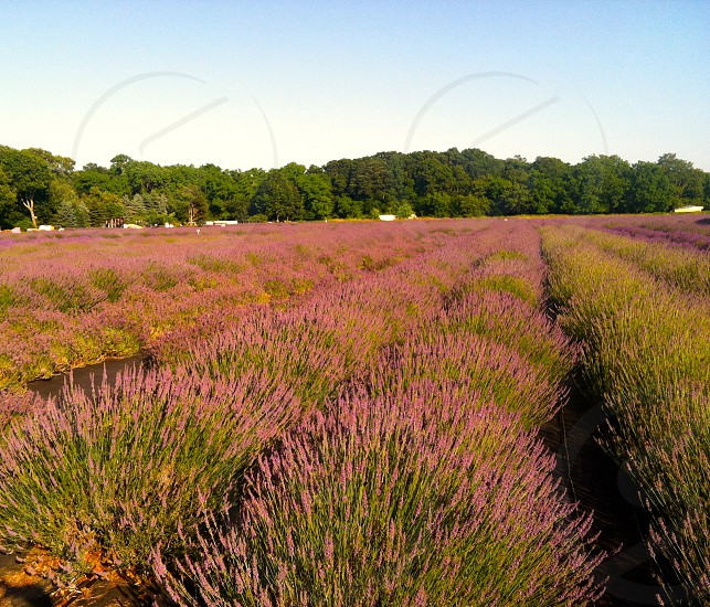 Lavender fields in Long Island photo
