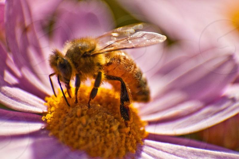 brown honeybee on yellow pollen photo