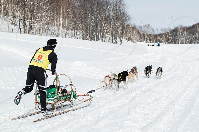 PETROPAVLOVSK-KAMCHATSKY KAMCHATKA RUSSIA - MARCH 2 2014: Running sled dog team Kamchatka musher Dmitry Revenok. Kamchatka Dog Sled Racing Beringia. Race-prologue distance of 10 kilometers. photo